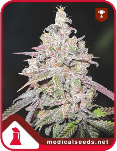 Mendocino Chanel Kush X3 - Medical Seeds