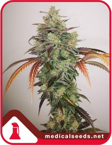Y Griega CBD 2.0 X3 - Medical Seeds