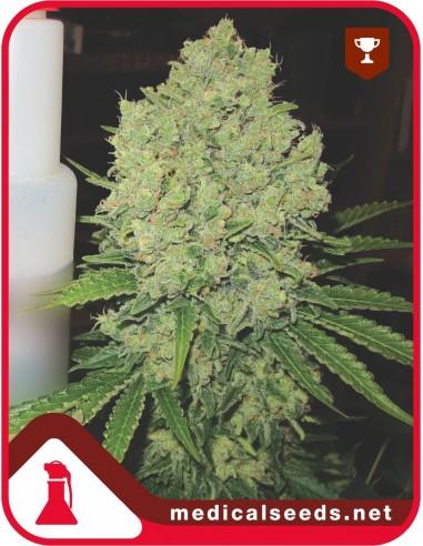 Prozack X3 - Medical Seeds