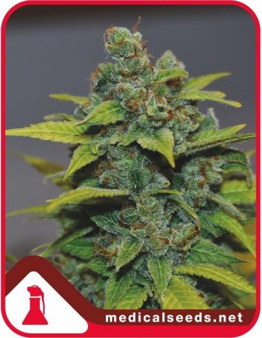 Banana Zkittlez X3 - Medical Seeds